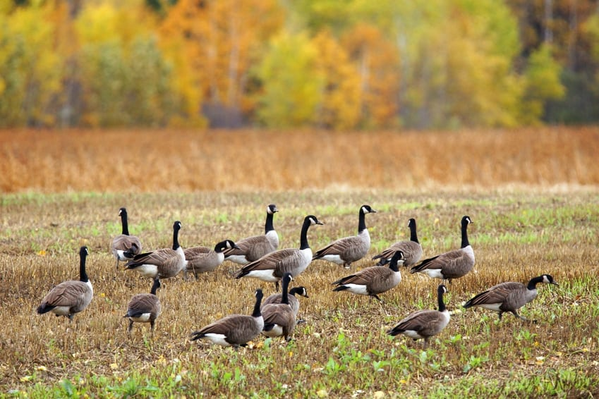 goose hunting tips- decoys