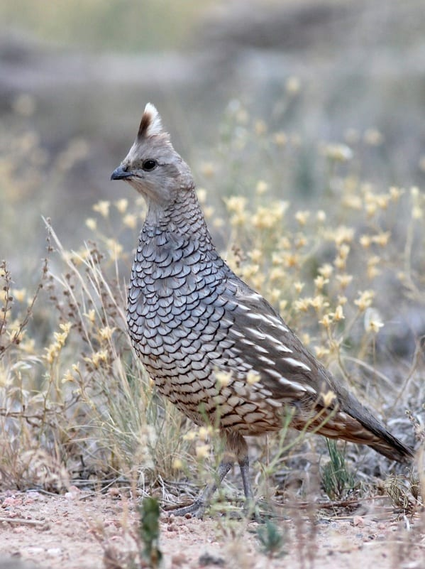 quail hunting tips- a scaled quail
