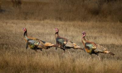 Turkey Hunting Tips: How Do You Use Turkey Decoys?