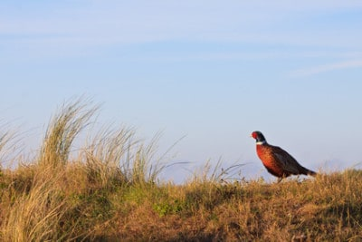 What Are the Biggest Mistakes Made When Pheasant Hunting?