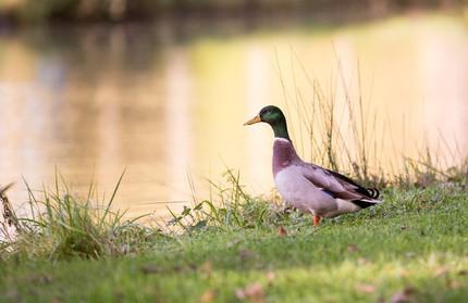 Mallard by duck blind