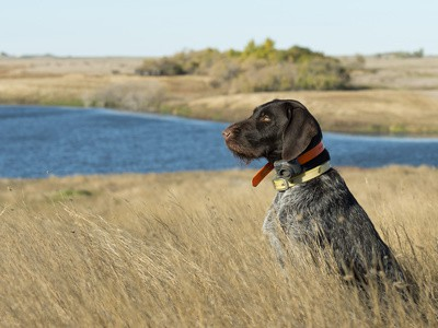 How to Hunt with a Gun Dog : 3 Tips to Get You Started