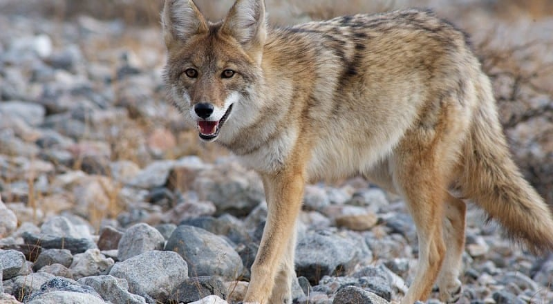 Coyote Hunting Tips and Tactics – How To Hunt